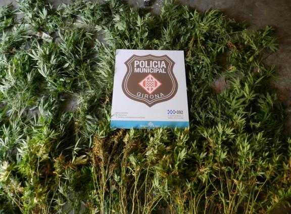 La policia municipal de Girona comissa 73 plantes de marihuana