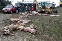 Bolca un tràiler que transportava porcs a Castellfollit de Riubregós