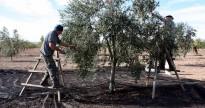 Una campanya d'olives un 26% superior a la passada
