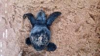 Vés a: Així es recuperen al Delta les tortugues babaues nascudes a Tarragona