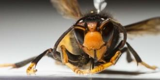 Vés a: La Vall d'en Bas instal·la trenta trampes per atrapar la vespa asiàtica