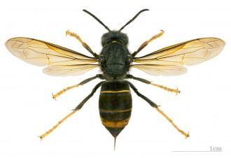 Vés a: Es confirma la presència de la vespa asiàtica al Vallès
