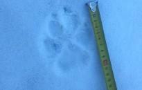 Localitzats possibles rastres de llop a Núria