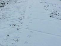 Els Rurals descarten que els rastres de Núria fossin de llop