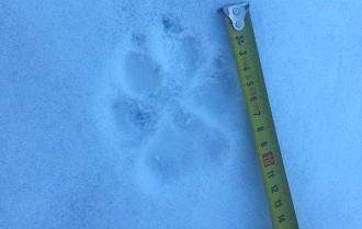 Vés a: Els Agents Rurals descarten que els rastres de Núria fossin de llop