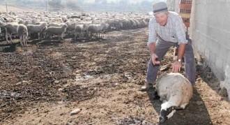 Vés a: Els gossos salvatges ataquen per tercer cop la granja de Seròs