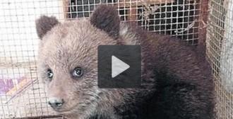 Els ecologistes portaran als tribunals la mort de l'óssa Aubèrta