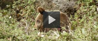 Guerra de retrets entre l'Aran i els ecologistes per la mort l'óssa Aubèrta