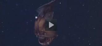 Graven per primera vegada el terrorífic «diable negre» de l'oceà