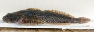 Vés a: Endesa reintrodueix un peix en perill d'extinció al riu Garona