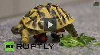Una tortuga discapacitada torna a caminar amb l'ajuda de peces de Lego