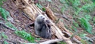 Vés a: DEPANA lamenta la mort d'Aubèrta i qüestiona la gestió de l'ós bru al Pirineu