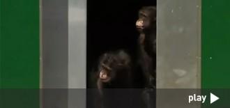 Emocionant reacció d'uns ximpanzés alliberats després de 30 anys en gàbies