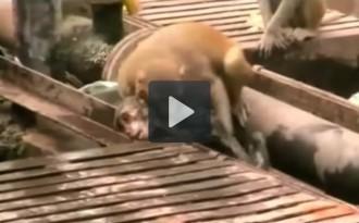 Un mono salva la vida d'un altre en unes vies del tren a l'Índia