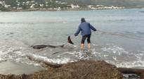 Vés a: Apareix un dofí ferit a la platja del Port de la Selva