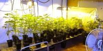 Detingut a Deltebre per cultivar 110 plantes de marihuana a casa