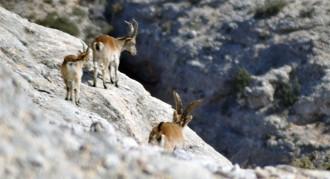 Permisos per abatre cabres salvatges al Port sospitoses d'haver contret la sarna