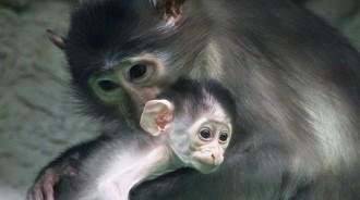 Vés a: Neix una cria d'un mico en perill d'extinció al Zoo de Barcelona