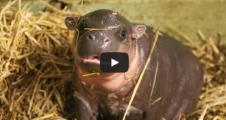 La cria d'hipopòtam d'un zoo del Regne Unit captiva Youtube