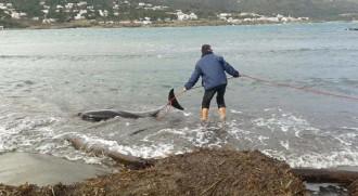 Vés a: Apareix un dofí atrapat en aigües del Port de la Selva