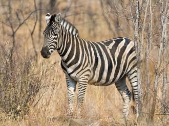 Per què les zebres tenen ratlles?