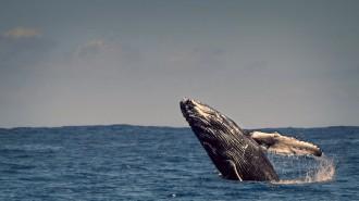 Uns investigadors descobreixen el misteri més ben guardat de les balenes