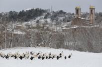Les cigonyes es passegen sobre la neu d'Olost