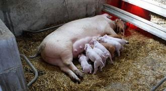 Vés a: Cornudella té la primera granja ecològica de porcs de la demarcació