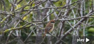 Localitzat a Deltebre un ocell provinent de Sibèria mai vist a la Península
