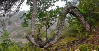 Els misteriosos pins cargolats del Parc Natural