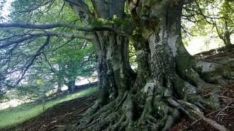 Una fageda de Ripoll, primer bosc madur salvat amb mecenes