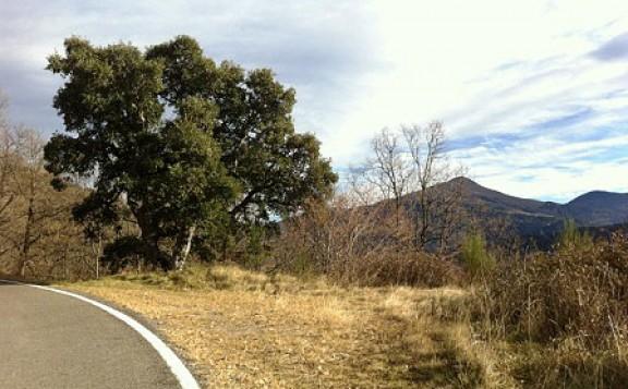 Ribes de Freser protegeix l'alzina surera de major altitud del país