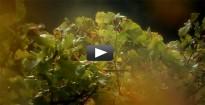 Vés a: El vi i la vinya, al vídeo promocional d'Alella