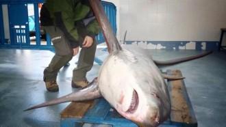 Vés a: Un pescador atrapa un tauró guineu a Sant Pol de Mar