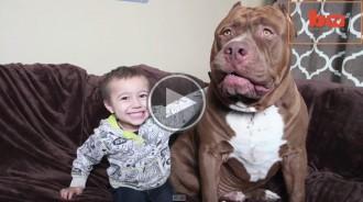 Hulk, el pitbull més gran del món
