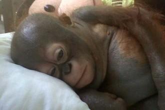 Budi, la història d'una cria d'orangutan que va estar engabiada durant deu mesos