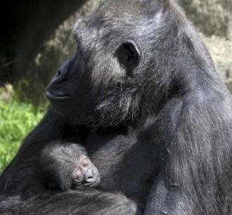Vés a: Neix al Zoo de Barcelona una cria de goril·la en perill d'extinció