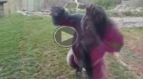 Un goril·la trenca el vidre de la gàbia i fa fugir els visitants d'un zoo