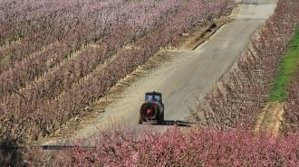Les gelades i la pluja malmeten bona part de la producció d'albercoquers i cirerers a la Ribera d'Ebre
