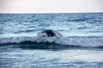 Apareix morta una balena de grans dimensions a la platja de Cubelles