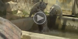 Una cria de tigre blanc emociona un zoo de Japó en rescatar el seu germà
