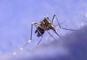 El mosquit tigre està entrant a les comarques lleidatanes per la carretera de Manresa