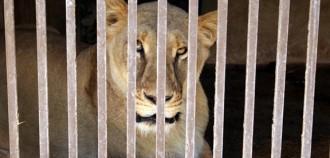 Traslladen als EUA els últims lleons i óssos que quedaven a Aqualeon