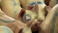 Vés a: TVE dedica un documental al problema dels purins a Osona