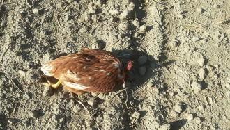 Ritual macabre amb gallines a Manlleu