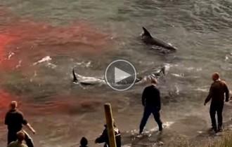 Vés a: Set activistes detinguts en una matança de balenes a les illes Fèroe
