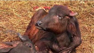 El festival Gadhimi del Nepal no sacrificarà més animals