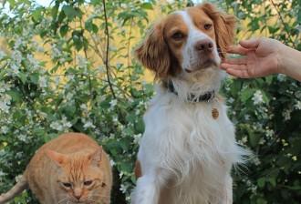 Busquen un gos que ha fet de Berga a Navàs tornant a casa