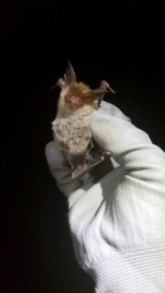 Vés a: El CTFC troba exemplars del ratpenat de Bechstein a Catalunya