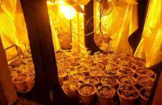 Enxampen un jove amb 145 plantes de marihuana a Cassà de la Selva